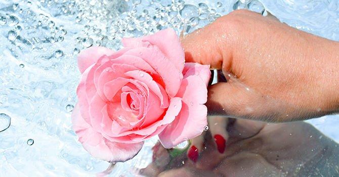Roze Roos Uit Het Water