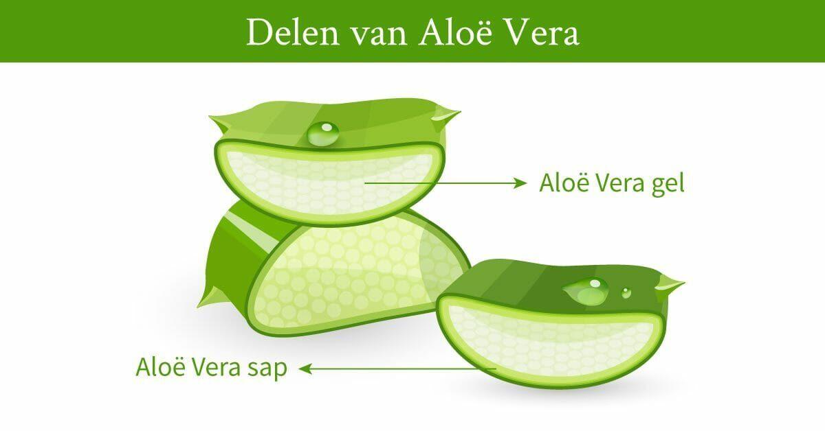 tekening delen aloe vera plant